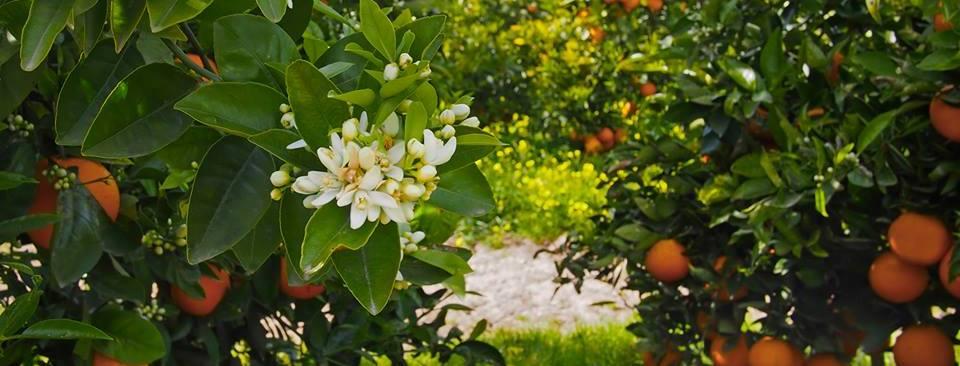 Lemon Citrus Tree reviews | Nurseries & Gardening at 765 E Orange Street - Jesup GA