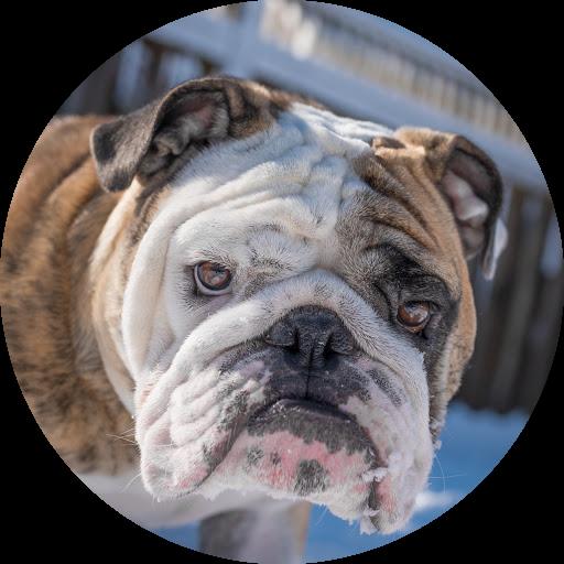 Reuben the Bulldog
