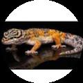 Gecko Charlie