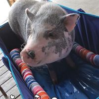 Pieper Pig